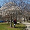 2368: Nan Nathenson enjoys the beginning of spring and the blooming trees.